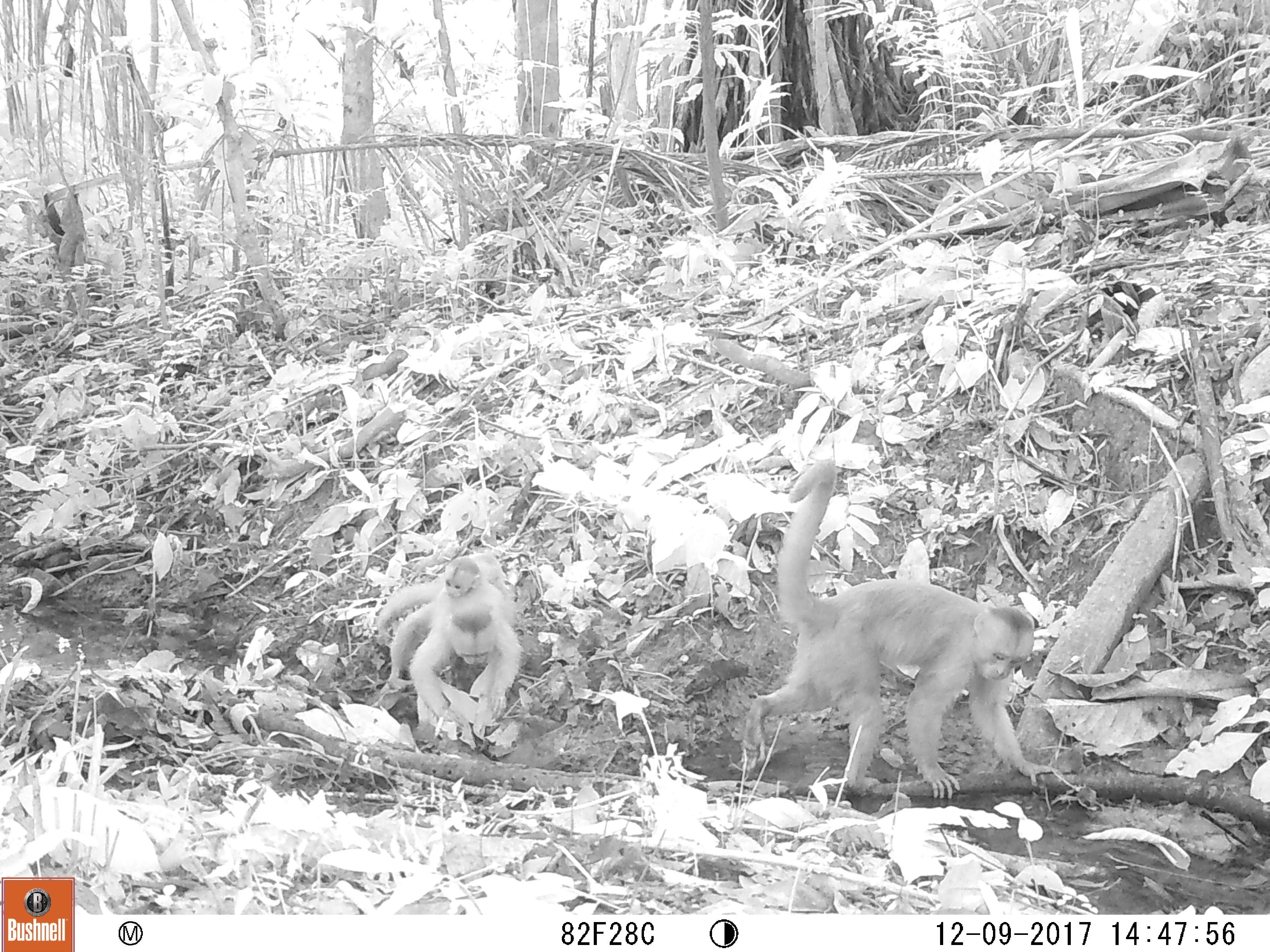 Câmera registrou macacos com filhote (Foto: WWF-Brasil)