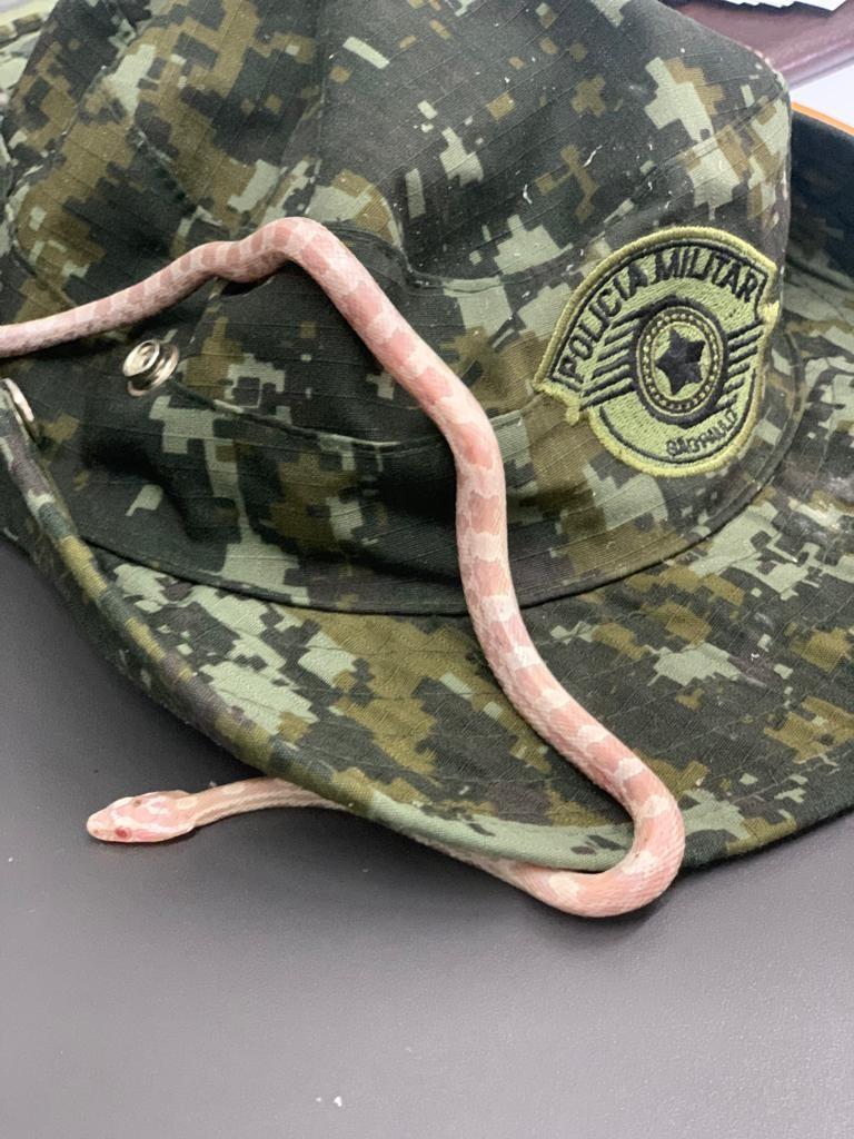 Cobra de espécie originária dos Estados Unidos é encontrada dentro de ônibus interestadual em Presidente Prudente thumbnail