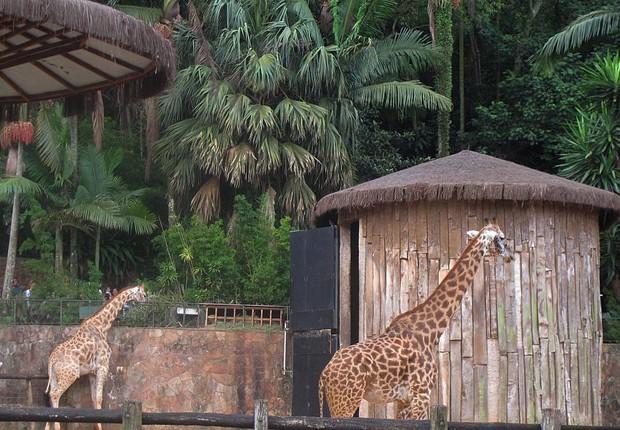 Girafas no Zoológico de São Paulo (Foto: Carlos Severo / Fotos Públicas)