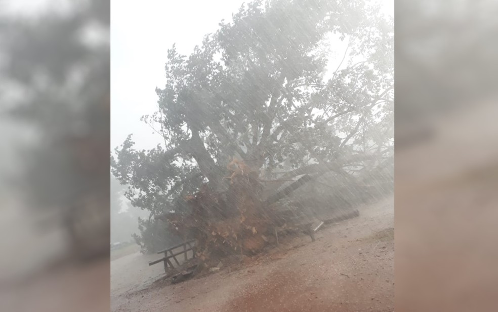 Árvore centenária cai durante temporal em Itapaci, Goiás — Foto: Divulgação/Prefeitura de Itapaci