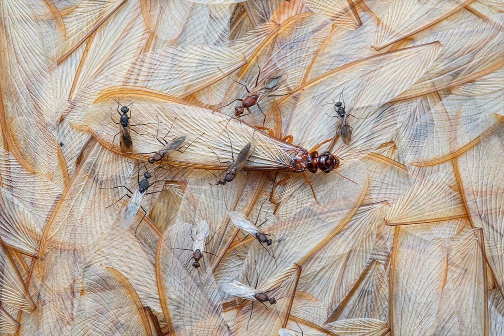 Insetos perdendo suas asas em Moçambique venceu a categoria Vida com Asas — Foto: Piotr Naskrecki