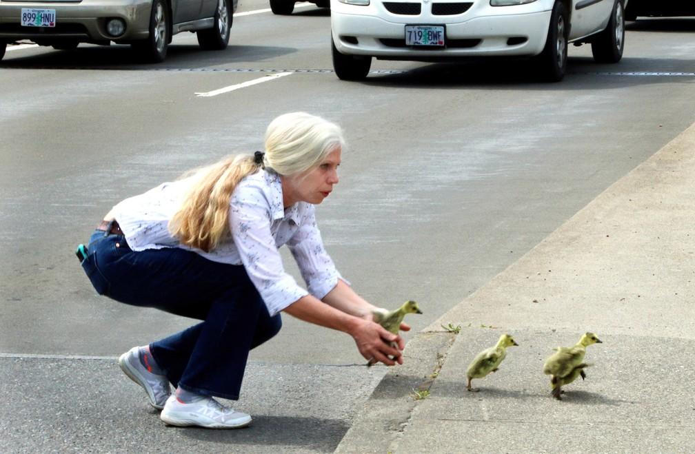 Motorista salva família de gansos em rua movimentada nos EUA (Foto: Timothy Bullard/The Daily Courier via AP)