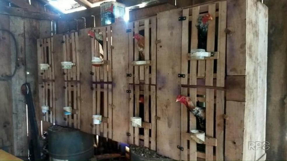 Polícia Ambiental resgata 75 galos usados em rinha, em Ariranha do Ivaí — Foto: Divulgação/Polícia Ambiental