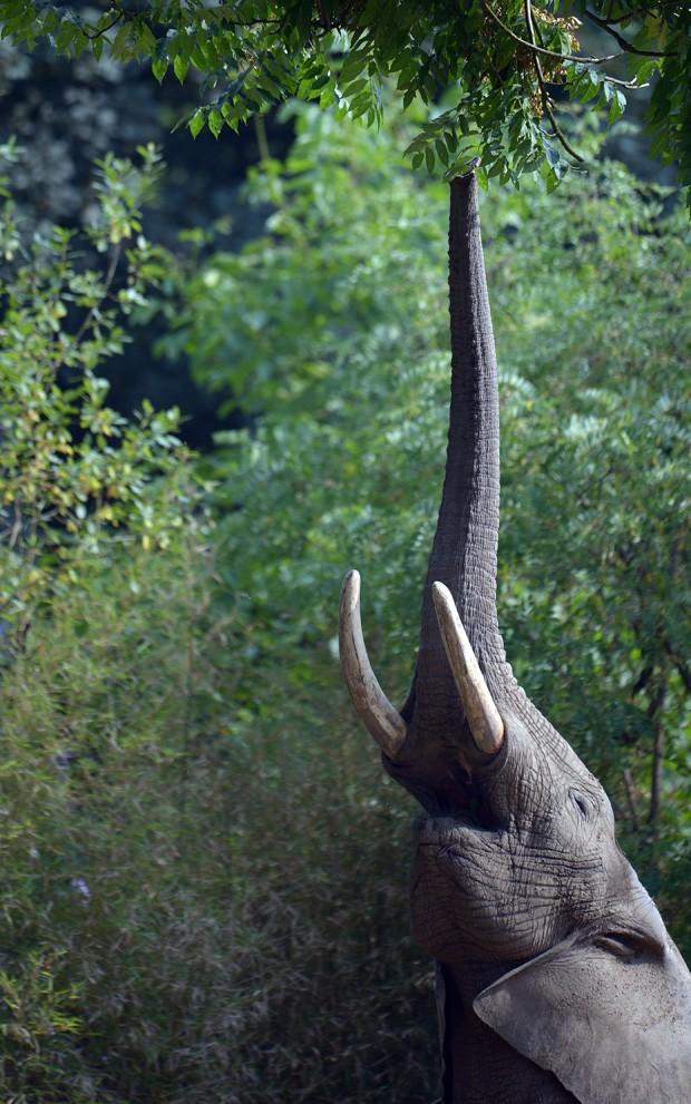 Elefante africano 'se estica' para tentar pegar folhas da copa de uma árvora no zoológico de Duisburg, na Alemanha (Fot Federico Gambarini/AFP)