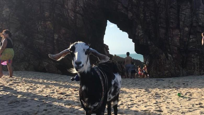 A cabra Cremosa em uma de suas viagens com a família (Foto: Arquivo Pessoal)