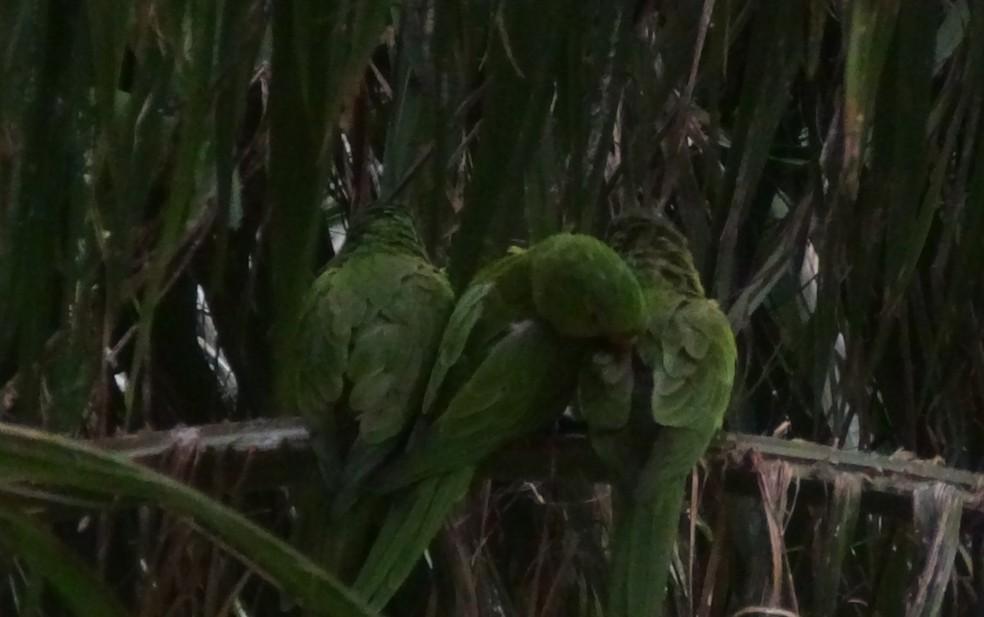 Moradores relatam que as maritacas se aglomeram em palmeiras em frente ao prédio durante a noite — Foto: Bruno Henrique Moreno/Acervo Pessoal