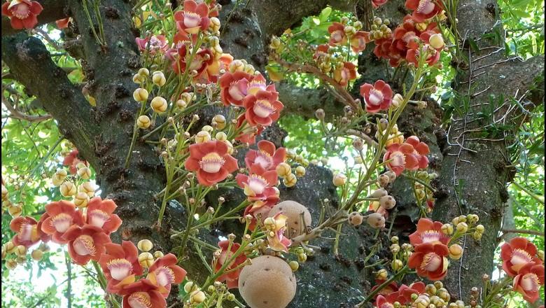 abricó-de-macaco-bala-de-canhão (Foto: enioprado/Wikimedia Commons)