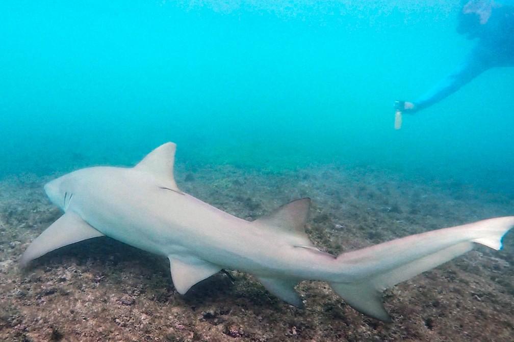 Um tubarão-limão com cerca de 2 metros de comprimento surpreende turistas durante mergulho na Praia do Sueste, em Fernando de Noronha — Foto: Fábio Tito/G1