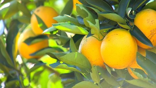 Produtores estão otimistas com safra de laranja