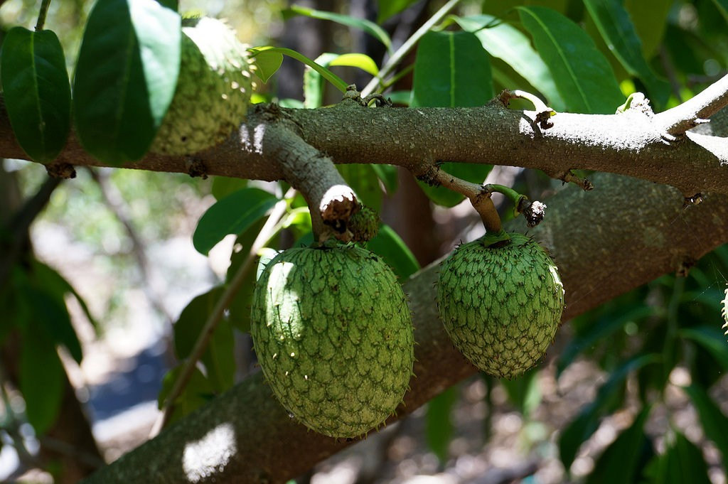 Annona montana-araticum (Foto: Flickr/Tatters/Creative Commons)