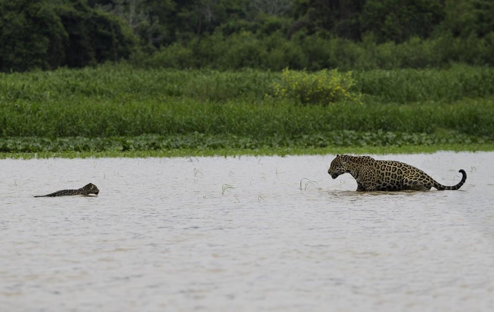 Onça-pintada vai de encontro ao filhote para incentivá-lo a atravessar um rio. Cena foi capturada o dentista e fotógrafo de natureza Mike Bueno no rio Cuiabá, no Pantanal (Foto: Mike Bueno/Vc no TG)