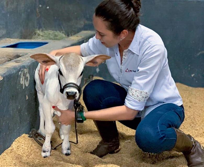 Raça araguaia inaugura neste ano a venda de sêmen, enquanto  a punganur obteve o primeiro registro de animais na ABCZ  (Foto: Thinkstock)