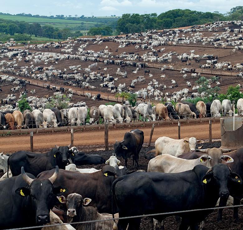 Pecuária da tela do celular -  o sistema da santa rosa permite ter  gado pronto para abate o ano inteiro (Foto: Rogerio Albuquerque)