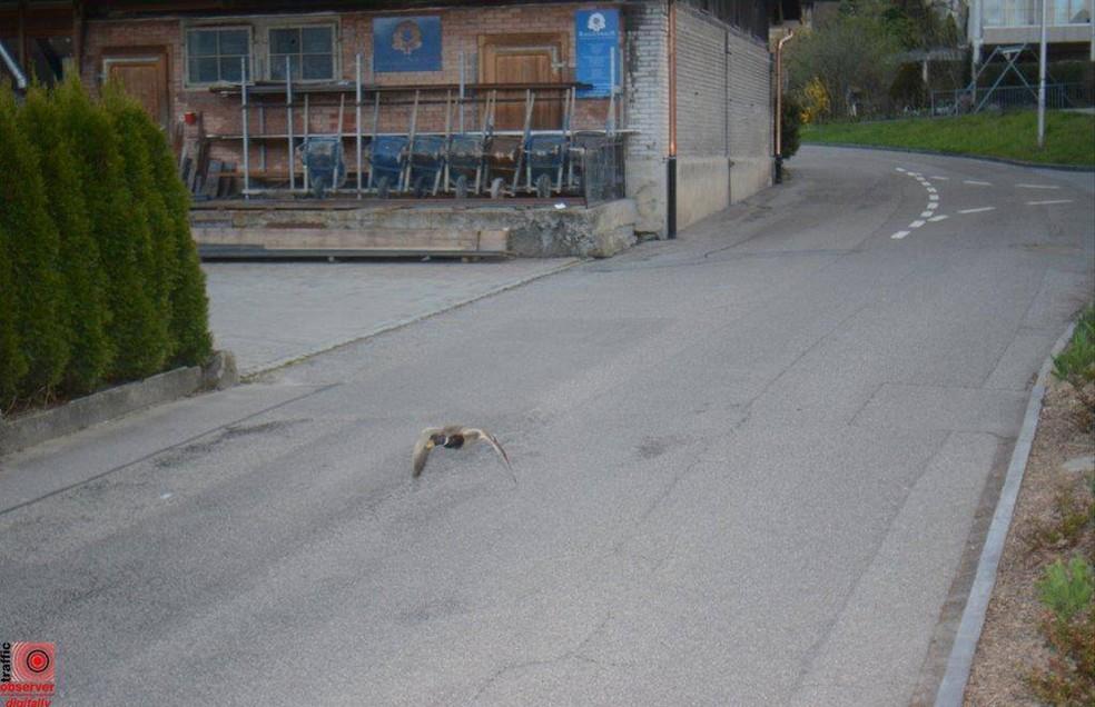 Câmera de trânsito flagra pato voando acima do limite de velocidade em rua na Suíça (Foto: Gemeinde Köniz/Facebook)