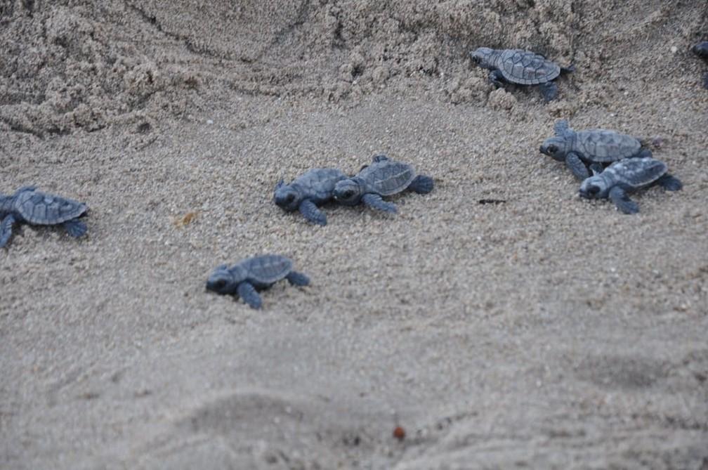 Tartarugas nasceram na areia da Praia do Janga, em Paulista, no Grande Recife — Foto: Jorge Macrino/Prefeitura do Paulista/Divulgação
