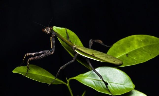 Nova espécie de louva-a-deus é encontrada no Jardim Botânico