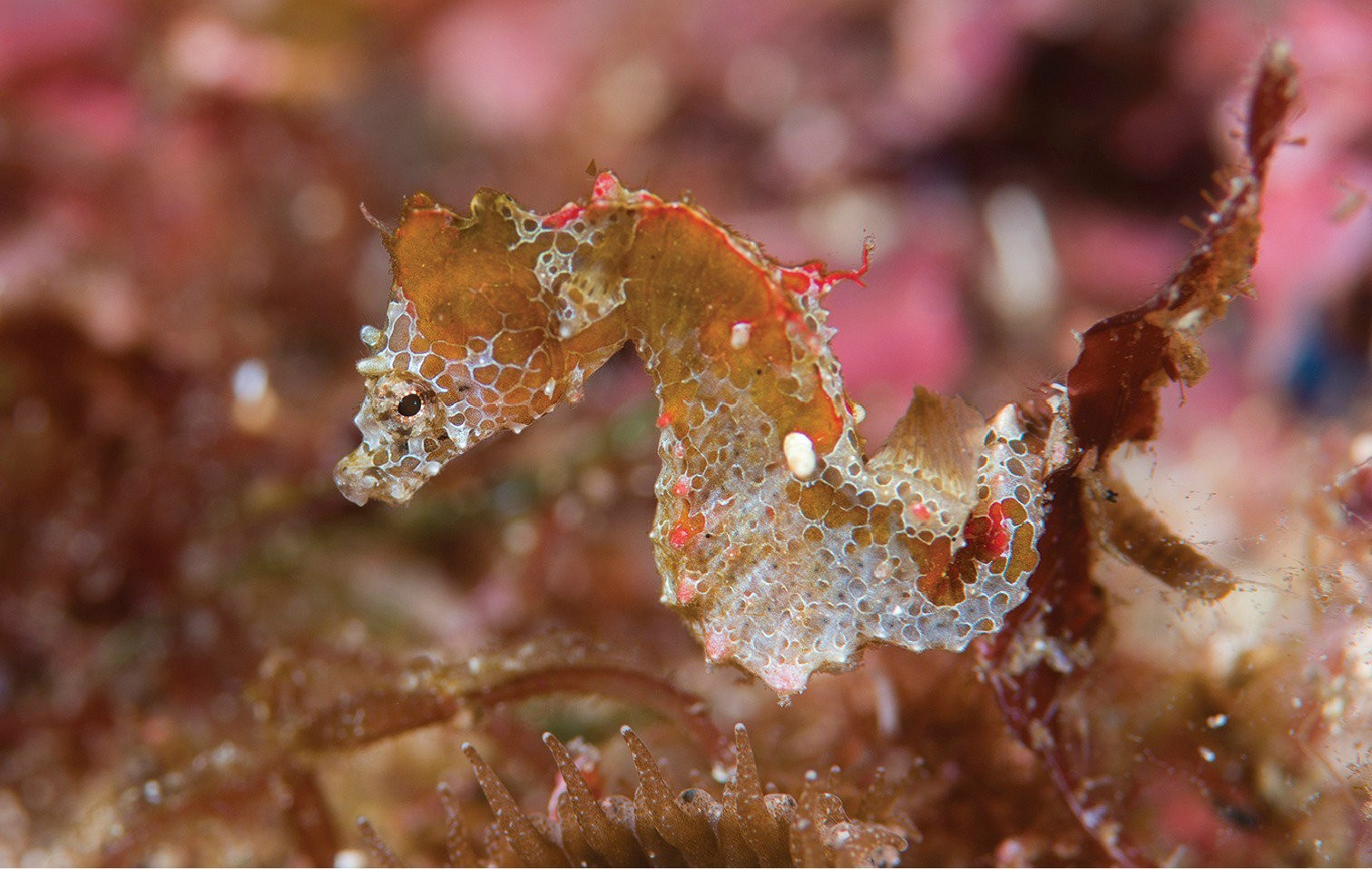 Cavalo-marinho pigmeu Hippocampus japapigu possui apenas um par de 'asas' (Foto: Richard Smith/ZooKeys)