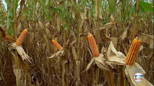 Colheita do milho deve ser maior, mas preço preocupa agricultores