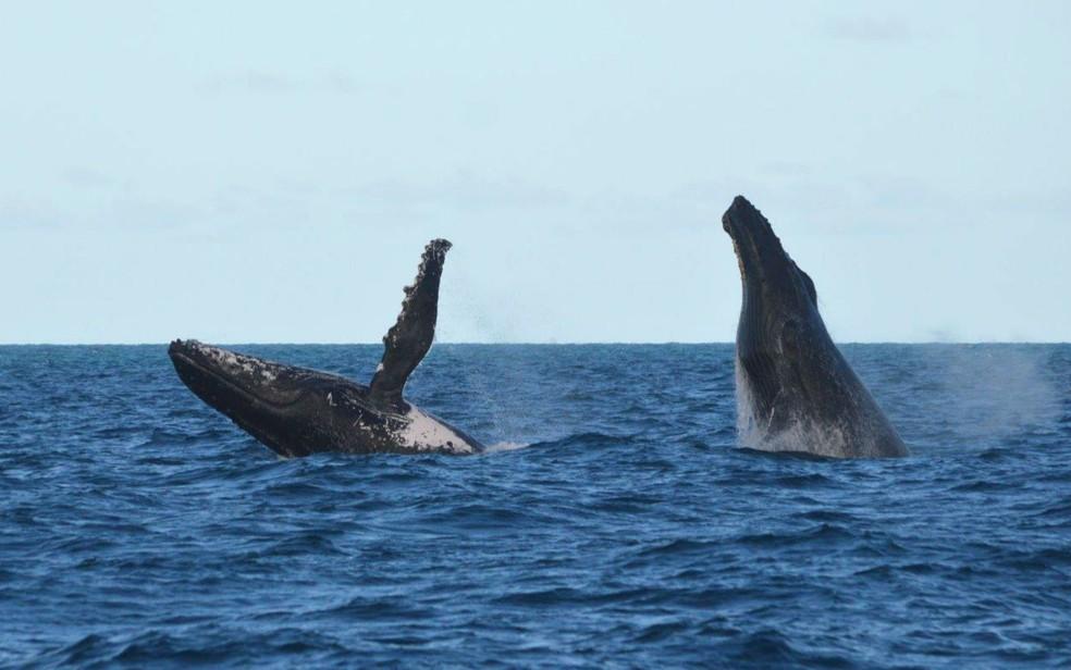 Baleias jubartes em mar do sul da Bahia — Foto: Milton Marcondes/Projeto Baleia Jubarte