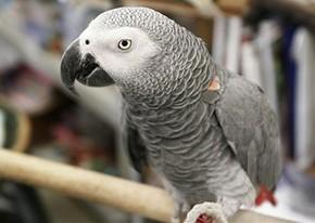 Papagaios cinzentos pensam de forma lógica como criança, diz estudo |  Natureza | G1