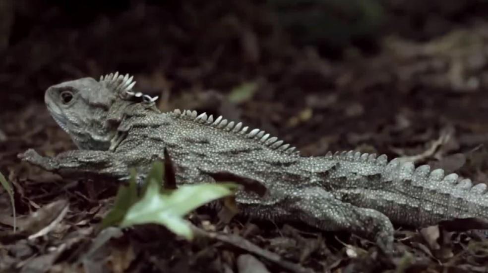 Tuatara, réptil encontrado na Nova Zelândia — Foto: Reprodução/EPTV