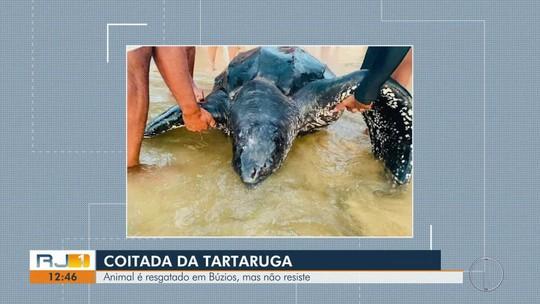 Tartaruga de 420 kg é encontrada morta em praia de Búzios, no RJ