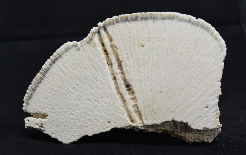 Repare nas linhas no esqueleto desse coral cérebro. Cada uma marca um ano de crescimento da espécie, de onde podem ser recolhidas informações químicas sobre o passado do mar. (Foto: UERJ)