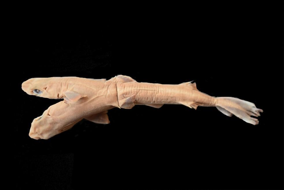 Tubarão de duas cabeças é encontrado no litoral paulista — Foto: Divulgação/Edris Queiroz
