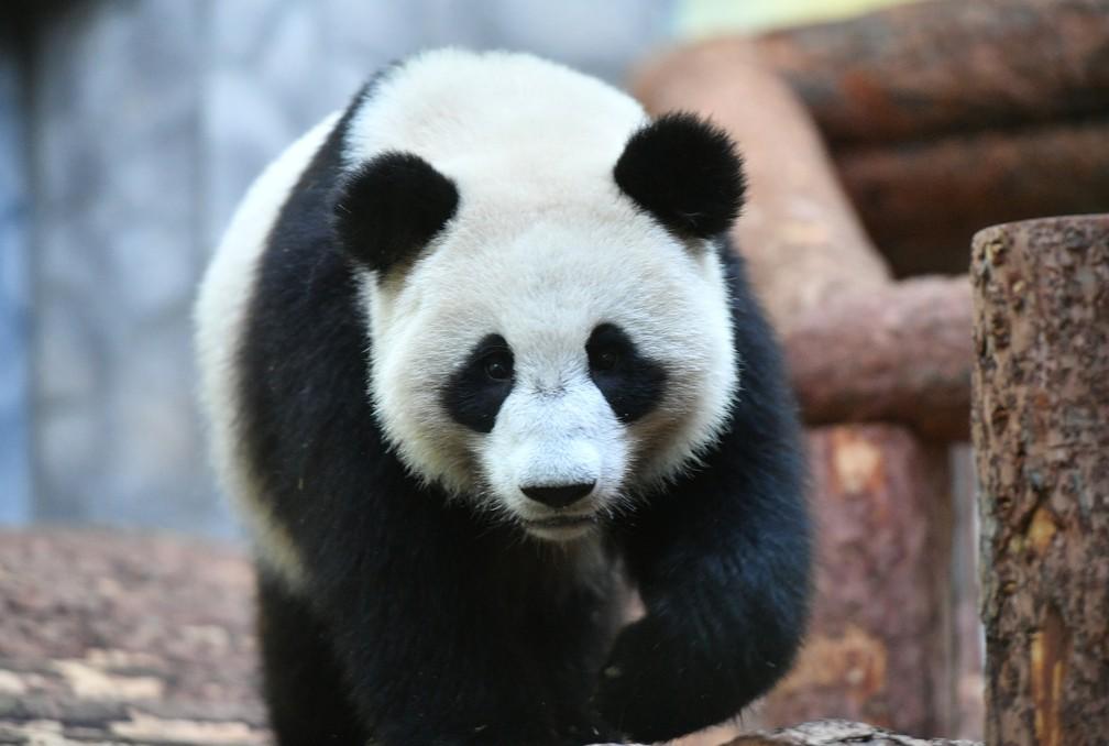 China emprestou dois ursos ao zoológico de Moscou — Foto: Alexander Vilf/Kremlin/Reuters