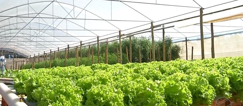 Produção de hortaliças em estufas — Foto: TVCA/Reprodução