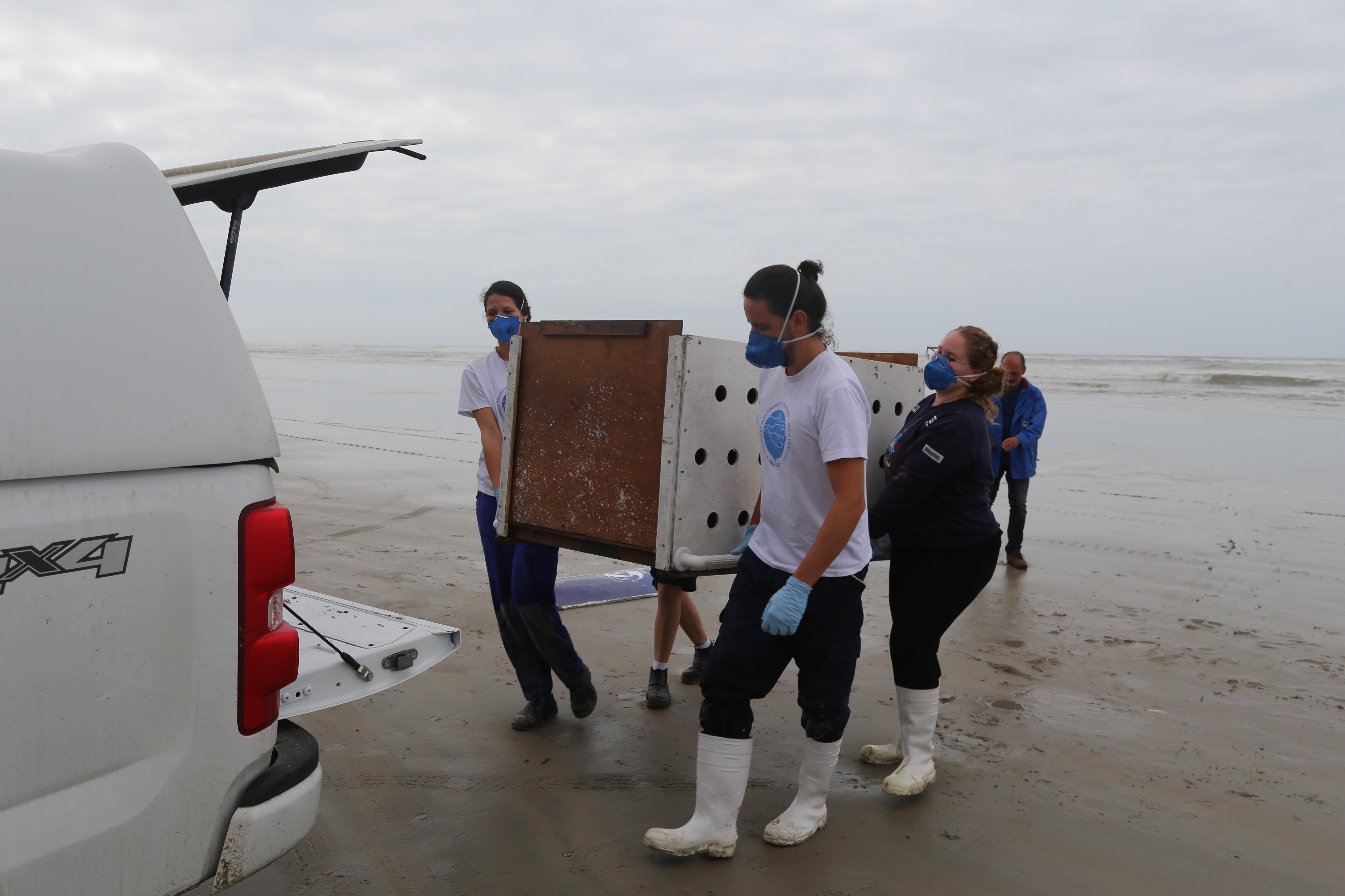 Lobo-marinho reabilitado é solto no litoral de SP: Gratificante - Notícias - Plantão Diário