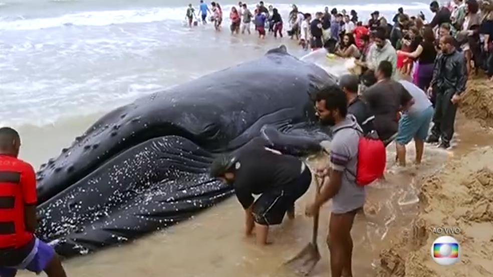 Baleia jubarte encalhou em Búzios nesta quarta-feira (Foto: Reprodução/Inter TV)