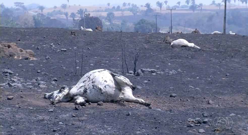 Cerca de mil animais morreram em incêndio (Foto: Reprodução/TV Anhanguera)