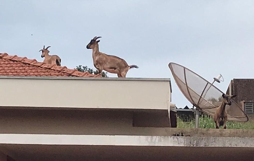fotos natalie camilo dos santos - Cabras sobem em telhado de casa e provocam momentos de pânico em moradores - minuto barra