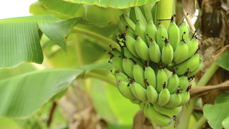 frutas_banana_bananeira (Foto: Thinkstock)