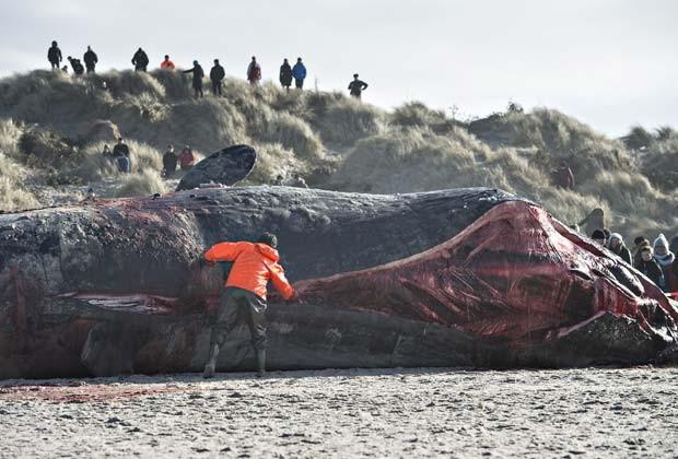 Biólogos fazem autópsia de baleias cachalote encontrada encalhada em praia da Dinamarca (Fot AFP Photo / Scanpix Denmark / Claus Fisker / DENMARK OUT)