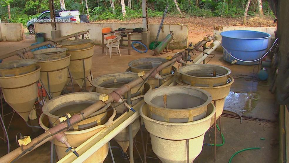 Laboratório de reprodução de alevinos  — Foto: Rede Amazônica/Reprodução