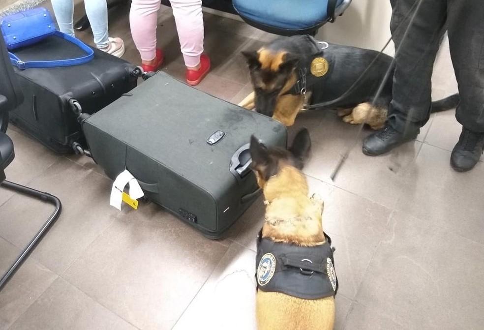 A droga foi detectada pelos cães farejadores da Polícia Federal. — Foto: Polícia Civil/Divulgação