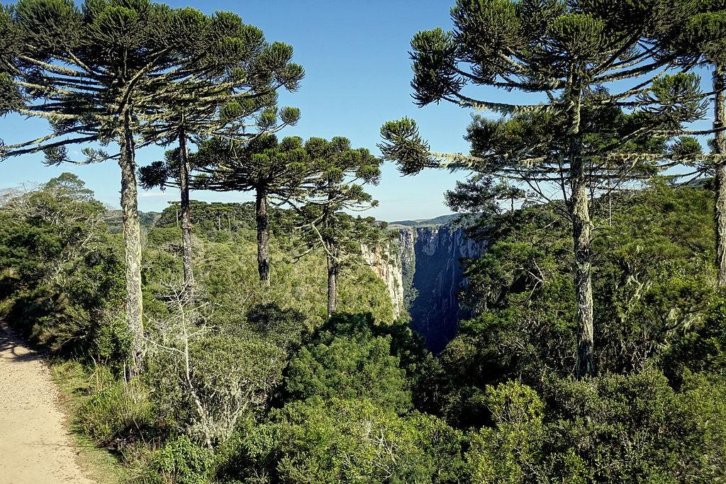 Araucárias no Parque Nacional Aparados da Serra, Rio Grande do Sul (Foto: Germano Roberto Schüür/Wikimedia Commons)