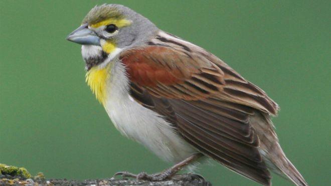 """Pesquisadores dizem que, ao longo do século 20, """"habitats urbanos se tornaram mais favoráveis aos pássaros"""" (Foto: Universidade de Illinois Urbana-Champaign via BBC)"""