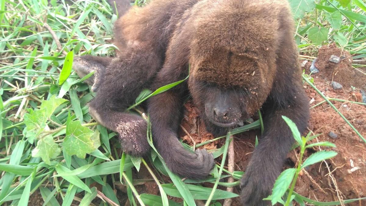 Macaco é achado morto em estrada de Santa Isabel; há suspeita de febre amarela