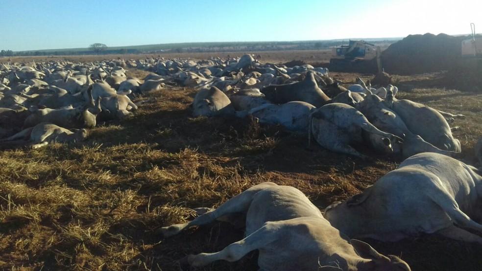 Animais morreram em fazenda em Ribas do Rio Pardo e a suspeita é de intoxicação por bactéria que causa o botulismo (Foto: Marca 7/Divulgação)