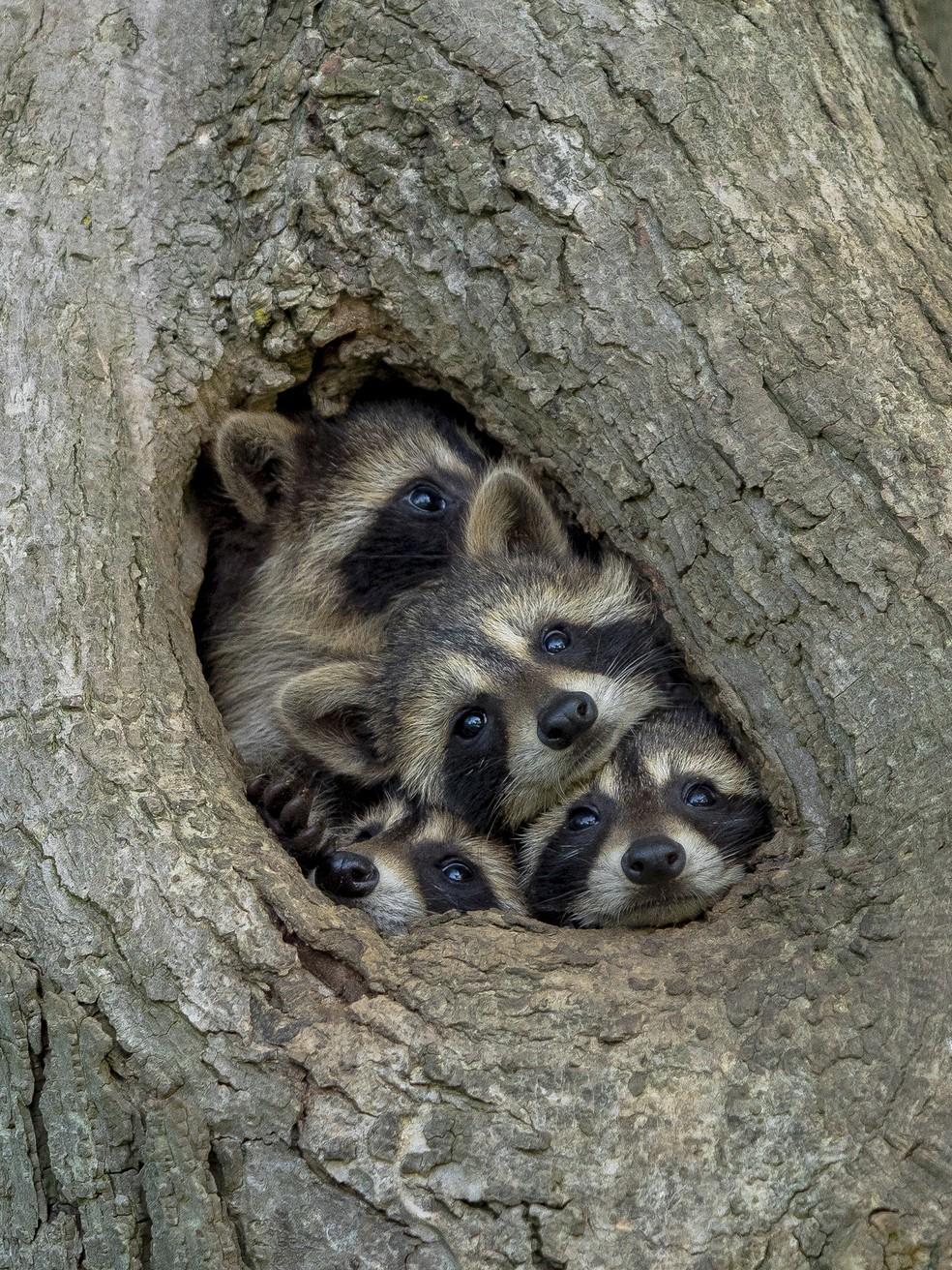 'Vida na quarentena': foto feita por Kevin Biskaborn em Ontário, no Canadá, mostra quatro guaxinins apertados dentro de um buraco em uma árvore. A foto foi intitulada 'vida na quarentena'. — Foto: © Kevin Biskaborn /Comedywildlifephoto.com