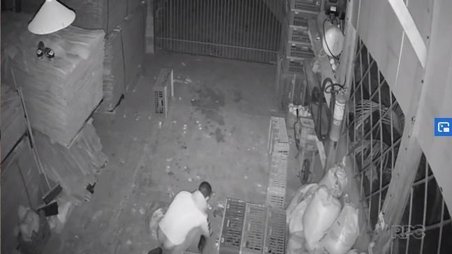 Cinquenta galos que custam mais de R$ 1 mil cada são furtados de chácara em Sertanópolis