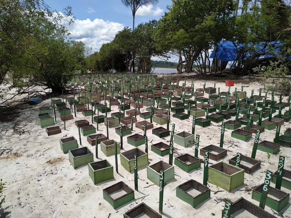 O nascimento dos filhotes de tartaruga-da-amazônia, tracajá e pitiú ocorrem a partir de novembro até o final de janeiro — Foto: Ascom MRN/Divulgação