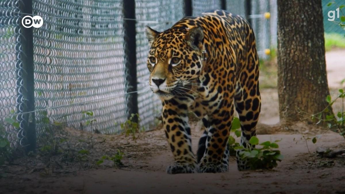 VÍDEO: a tentativa de se reintroduzir a onça-pintada na Argentina