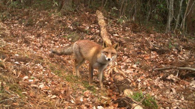 BBC - Uma raposa vermelha olha para uma das 106 câmeras que foram colocadas para estudar uma grande área (Foto: CORTESÍA: JAMES BEASLEY)