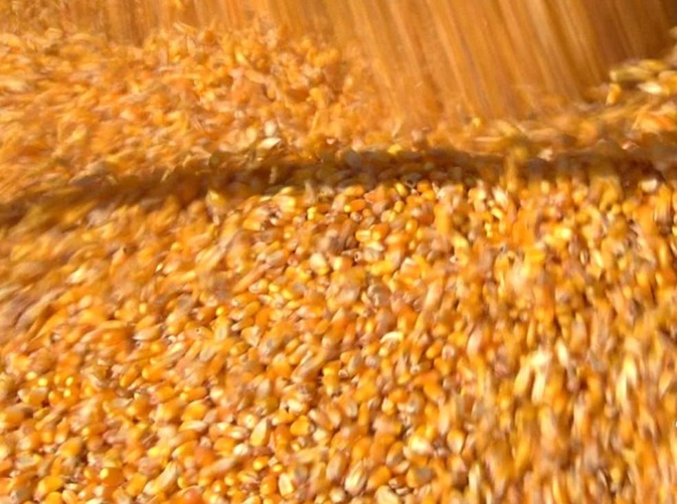 Milho em grão em MT — Foto: Reprodução/TVCA