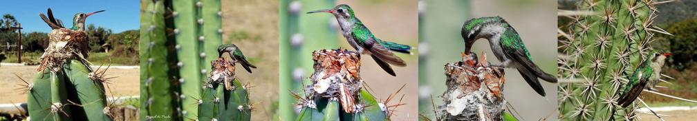 A foto inicial da reportagem foi flagrada após uma observação intensa do ninho de beija-flor feito em um cacto — Foto: Miguel de Paula/Acervo Pessoal