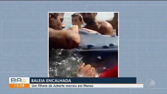 Filhote de jubarte encalha e morre em praia na BA; vídeo mostra banhistas em tentativa de resgate